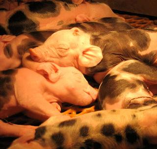 2-day-piglets