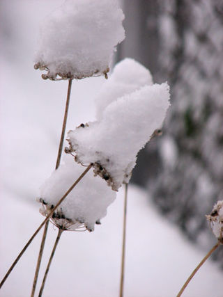 Snow-onionheads