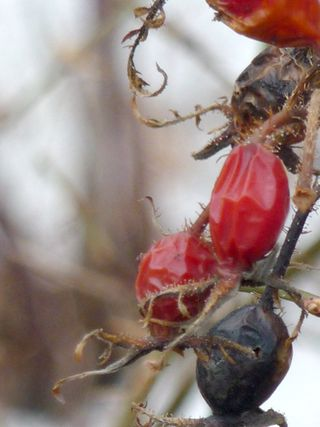 Dried-rosehip