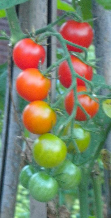 Tomato-rainbow