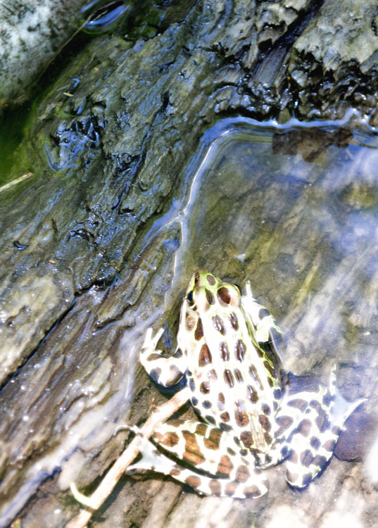 Froggy-3