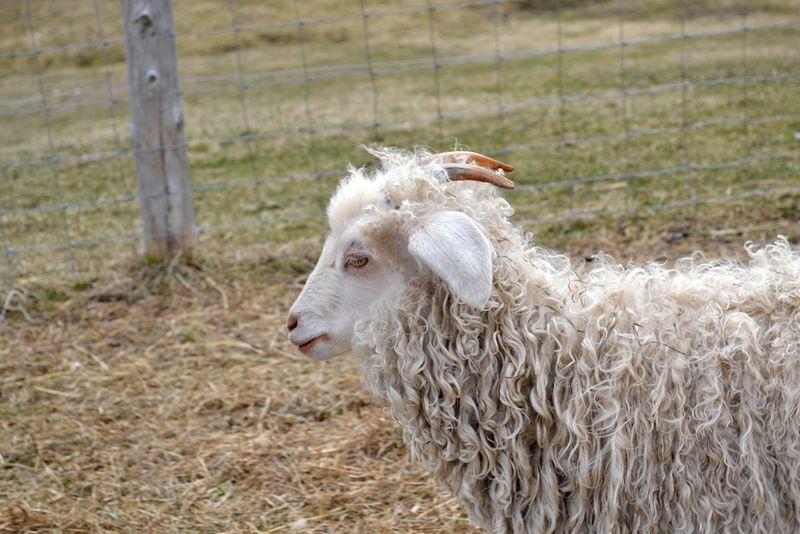 Angora-goat-2