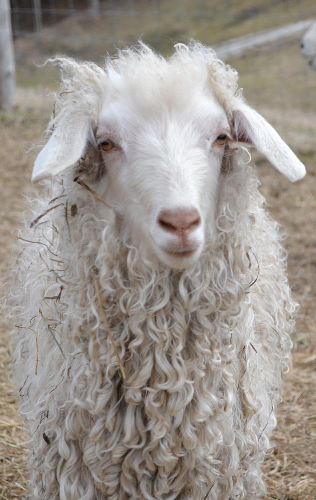 Angora-goat-3