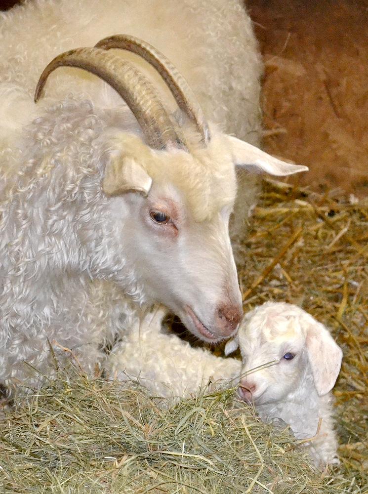 Angora-goat-Kid