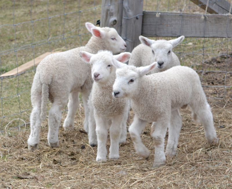 Lambs-group