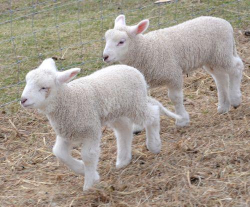 Angora-goat-1