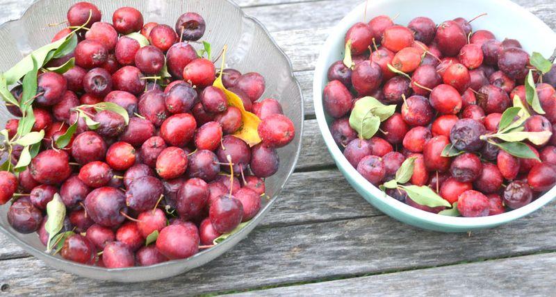 Crab-apple-harvest